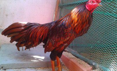 8 bệnh thường gặp ở gà