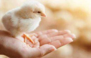 Chọn giống là yếu tố quan trọng quyết định sự thành công trong chăn nuôi