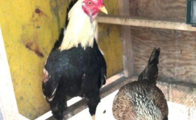 Tăng năng suất kinh tế bằng việc tạo mô hình nuôi gà chọi