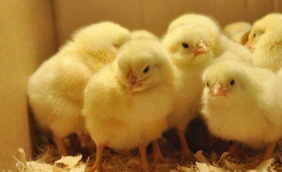 Cách chọn giống gà tốt