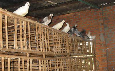 Kỹ thuật làm chuồng nuôi chim bồ câu bán công nghiệp và công nghiệp