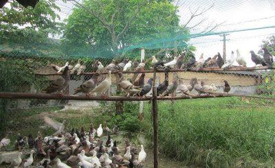 Kỹ thuật làm chuồng nuôi chim bồ câu