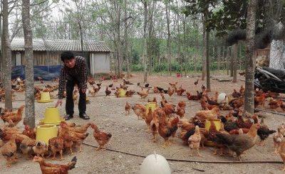 Làm chuồng nuôi gà thả vườn