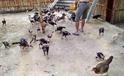 Phương pháp nuôi gà truyền thống