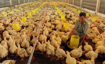 Giá gà công nghiệp ở miền Bắc cao hơn miền Nam đến 60%