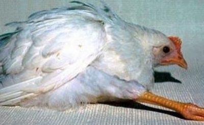 marek gà