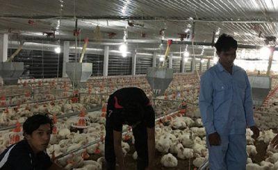 kỹ thuật chăn nuôi gà công nghiệp