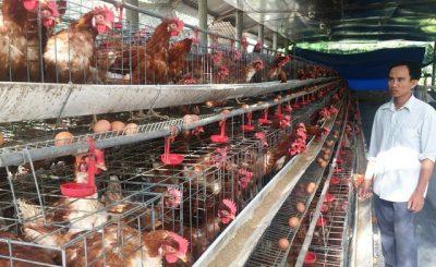 mô hình nuôi gà đẻ trứng
