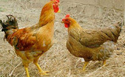 nấm đường tiêu hóa ở gà